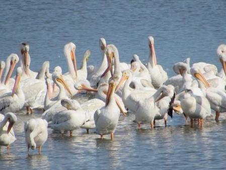 A Salute to the White Pelicans